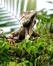 Belizean Iguana Royalty Free Stock Photos