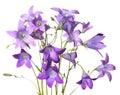 Bell-flowers azuis Fotografia de Stock Royalty Free