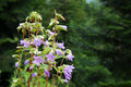 Bell flowers campanula in forest Royalty Free Stock Photo