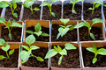 Bell pepper seedlings Stock Photography