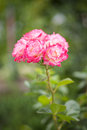 Belles roses Photo stock