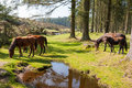 Bellever dartmoor devon ponies at in national park england uk europe Stock Images