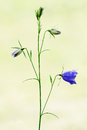 Bellflower Isolated In Nature