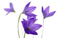 Bellflower isolated on a white background Royalty Free Stock Image