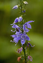 Bellflower tall campanulastrum americanum with sweat bee Royalty Free Stock Photo