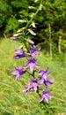 Bellflower violet harebell on the green background rural flower Stock Images