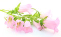 Bellflower on a white background pink isolated Stock Photos