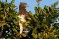 Bellicosus老鹰军事polemaetus 免版税库存图片