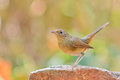 Bellied redstart ptak Obrazy Stock