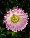 Bellis perennis Stock Photos