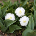 Bellis perennis details of in a formal garden this variety is in cultivated for ornamental garden Royalty Free Stock Photography