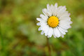 Bellis perennis flower a close up of a Stock Photos