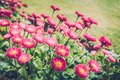 Bellis perennis red, in the soft mood atmosphere Royalty Free Stock Photo