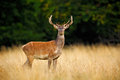 Bellow majestic powerful adult red deer stag outside autumn forest, Dyrehave, Denmark