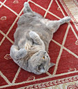 Belly up playful cat Royalty Free Stock Photos