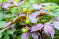 Bellyache bush cotton leafed jatropha Royalty Free Stock Image