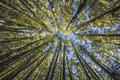 Below Pine Tree Royalty Free Stock Photo