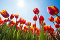 Below view of beautiful orange tulips, Netherlands Royalty Free Stock Photo