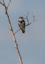 Belted kingfisher on dry branch the megaceryle alcyon is the only species of at the island of cuba Royalty Free Stock Photography