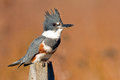 Belted kingfisher female sitting on a post Royalty Free Stock Image