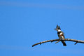 Belted kingfisher megaceryle alcyon female cries from her perch over idaho s salmon river Stock Photo