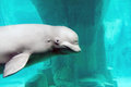 Beluga whale close up of swimming underwater Royalty Free Stock Photography
