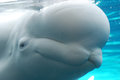 Beluga Whale Pressed Up Against the Tank Glass Royalty Free Stock Photo