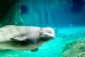 Beluga whale underwater Royalty Free Stock Photo