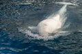 Beluga whale white dolphin portrait Royalty Free Stock Photo
