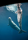 Beluga Whales Royalty Free Stock Photo