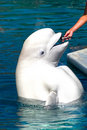 Beluga (White Whale) Stock Photography