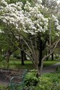 White flower tree over a park bench at Rockefeller Park in Cleveland, Ohio Royalty Free Stock Photo