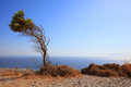 Bended tree at ancient thira a standing alone located santorini island greece Royalty Free Stock Images