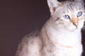 Bengal cat with nice blue eyes Royalty Free Stock Photography