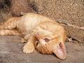 Bengal cat oreange so cute Royalty Free Stock Image