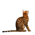 Bengal Cat Sitting And Looking...