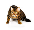Bengal cat on white background with reflection Royalty Free Stock Images