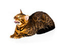 Bengal cat on white background with reflection Stock Photo