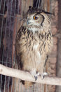 Bengal Eagle Owl Stock Photo