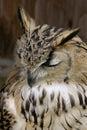Bengal Eagle Owl Stock Image