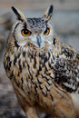 Bengal Eagle Owl (Bubo bengalensis) Stock Photos