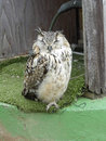 Bengal eagle owl looking a bit sleepy Stock Photo