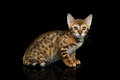 Bengal Kitten on isolated Black Background