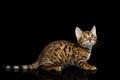 Bengal Kitten on isolated Black Background