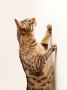 Bengal kitten reaching up a wall Royalty Free Stock Photos