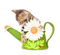 Bengal kitten in a toy watering can. isolated on white backgroun Royalty Free Stock Photo