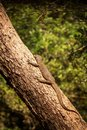 Bengal monitor lizard Varanus bengalensis. Reptile varan resting on big tree in jungle of Sri Lanka. Common Indian monitor. Royalty Free Stock Photo