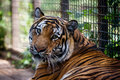 Bengal Tiger in captivity Royalty Free Stock Photo
