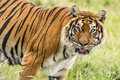 Bengal tiger closeup of looking straight Stock Images