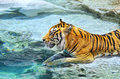 Bengal tiger near the water Stock Image